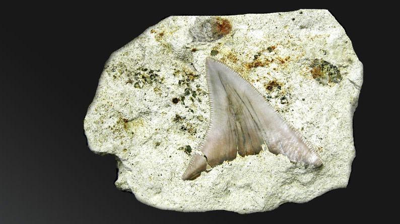 Dente di Carcharocles megalodon, Miocene Inf. Moleto (AL)