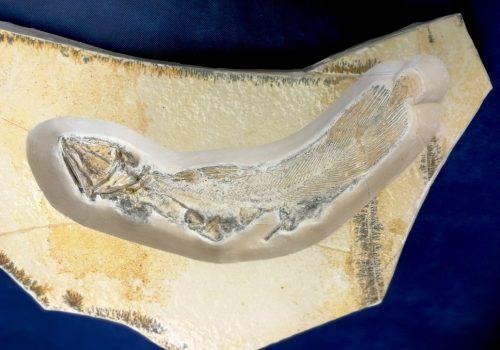 Fossile di Celacanto
