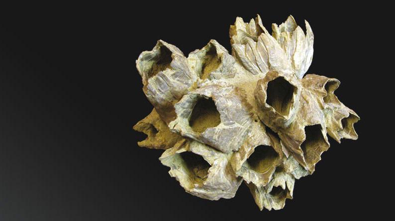 Balanus Sp. Pliocene Inf. Valle Andona (AT)