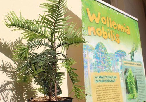 Fossili viventi Wollemia nobilis